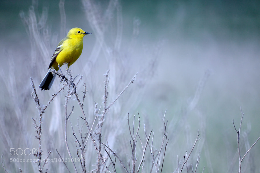 Photograph  Yellow Wagtail by Mars Shangareev on 500px
