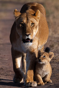 PJBM Lioness & cub walking