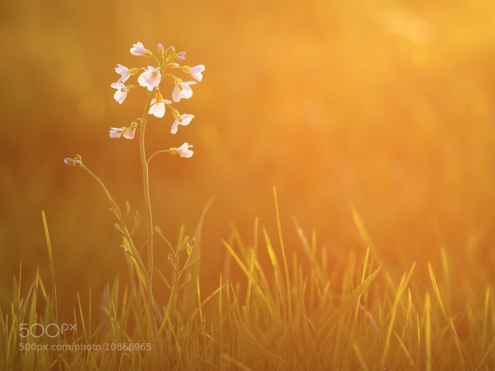 Photograph Golden Summer by Marco Schöfl on 500px