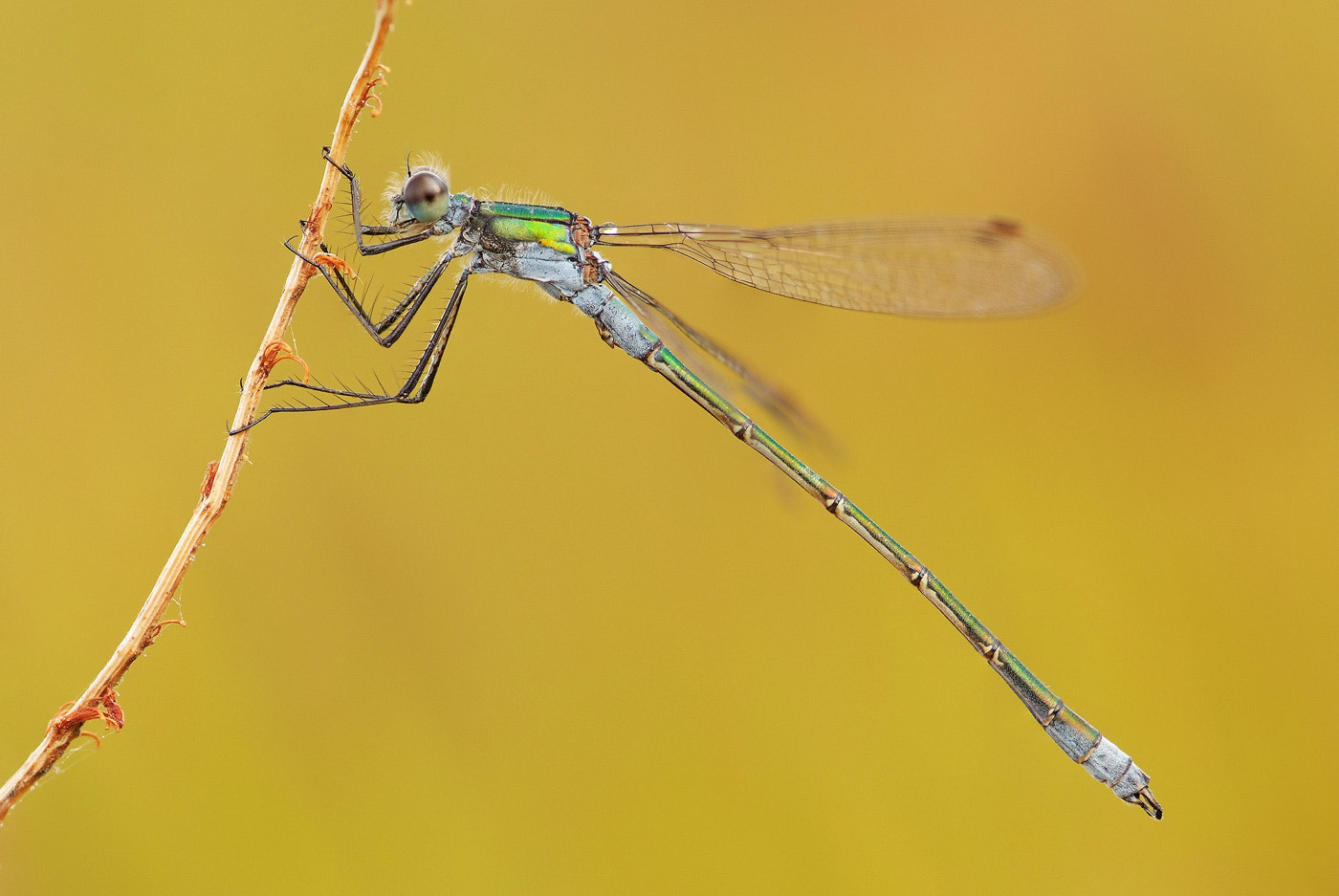 Photograph Damsel in Gold by Gary Howells on 500px