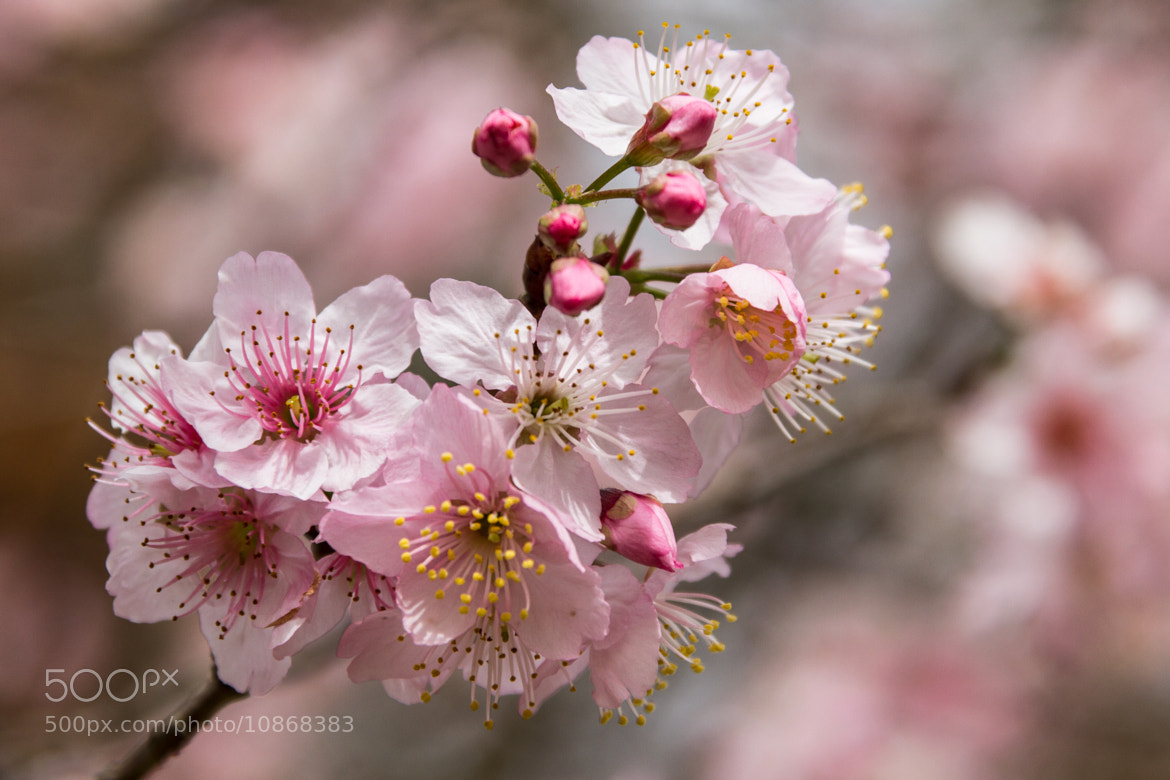 Photograph Sakura by Thelma  Gatuzzo on 500px