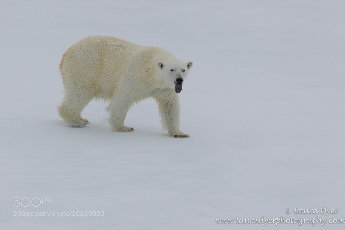 Photograph Ice Bear by Laura Dyer on 500px