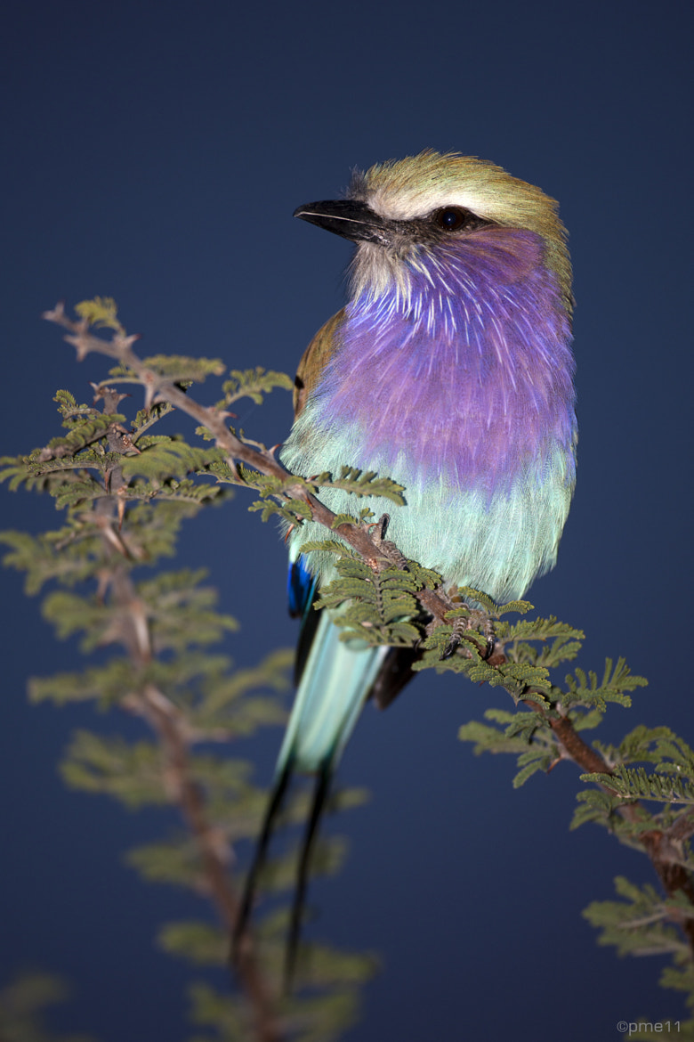Photograph Lilac-breasted Roller by Patrick Meier on 500px