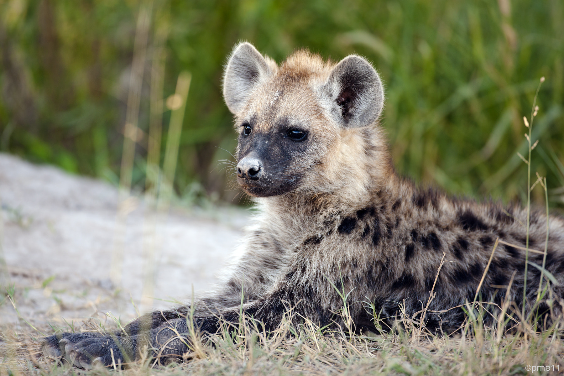 Photograph Spotted Hyena (juvenile) by Patrick Meier on 500px