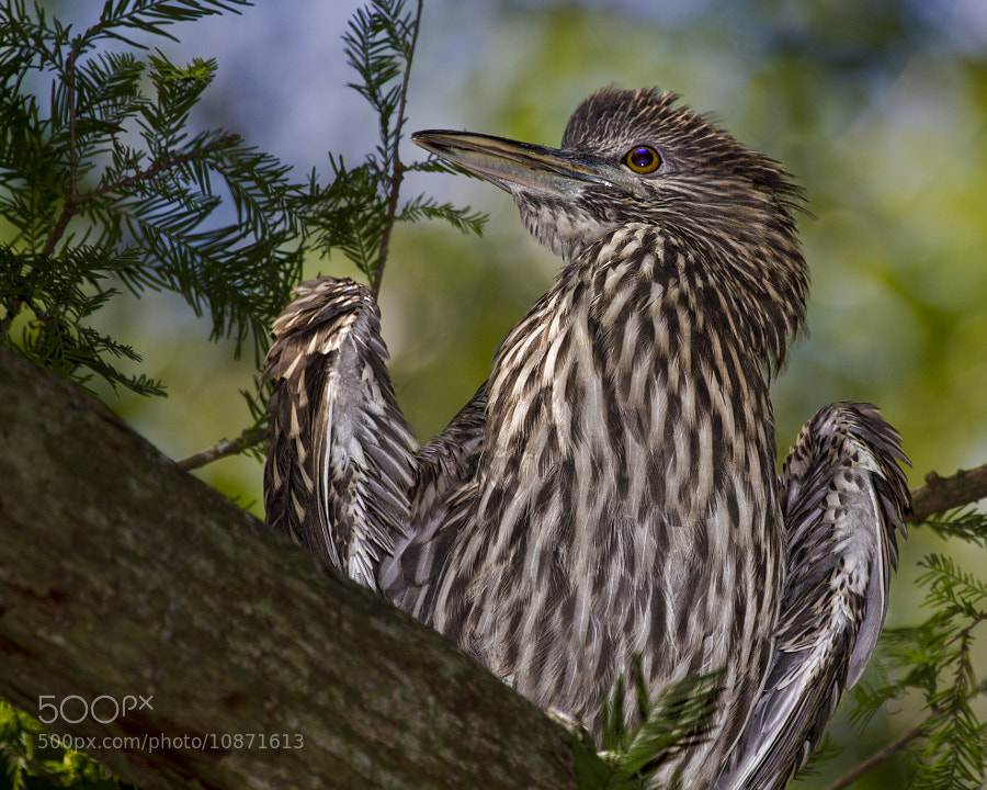 Photograph Juvenile Black Crowned Night Heron by John Mead on 500px