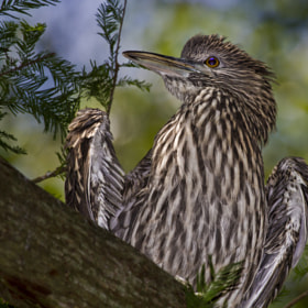 Juvenile Black Crowned Night Heron by John Mead (BlueLionPhotos)) on 500px.com