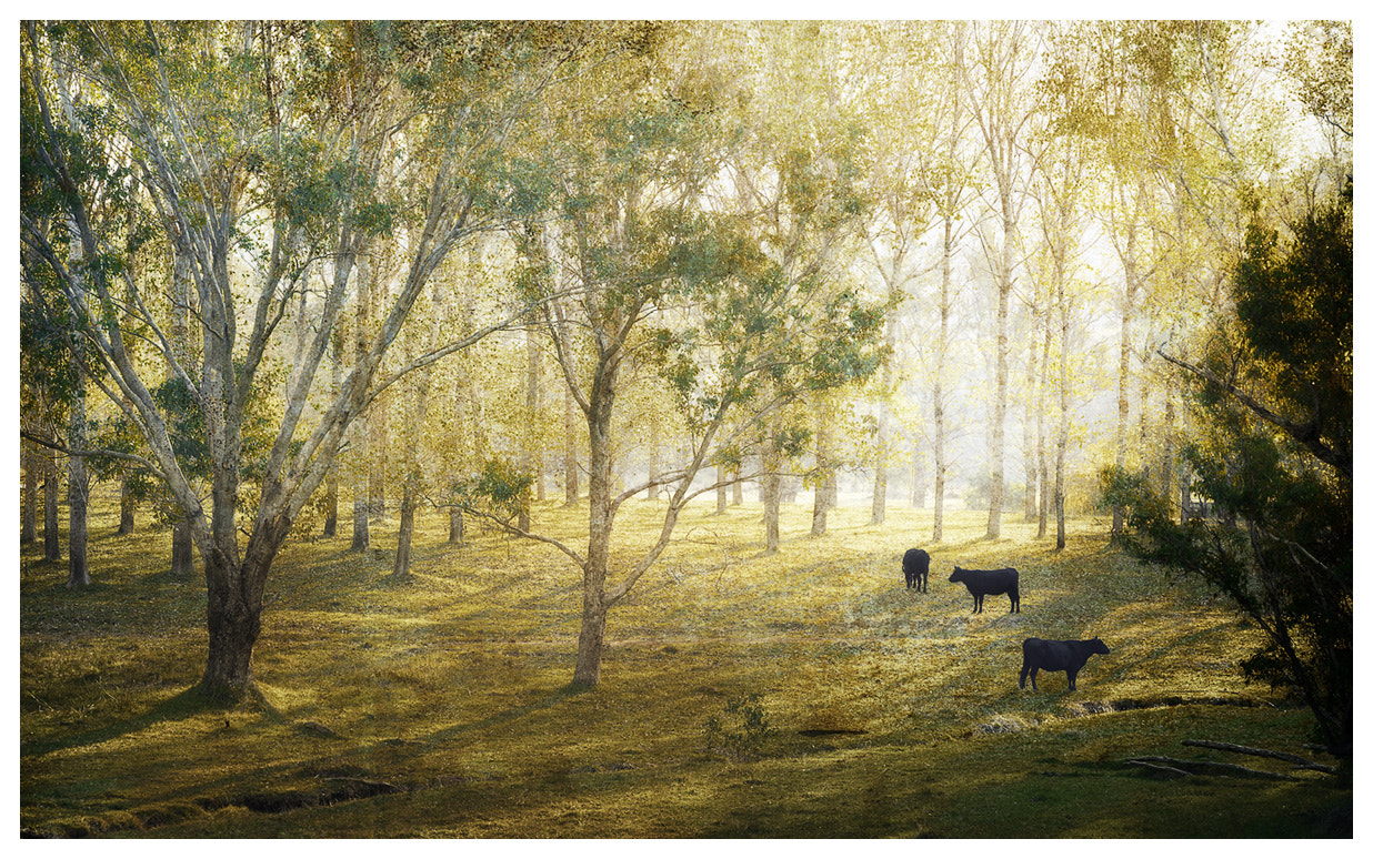 Photograph Cows, Balingup, Western Australia by Christian Fletcher on 500px