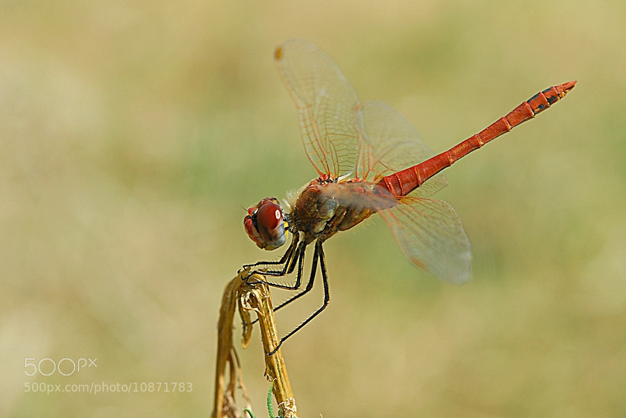 Photograph ODONATA by ilker kursun on 500px