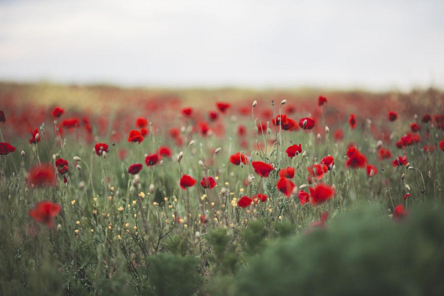 Poppies by Jovana Rikalo on 500px.com