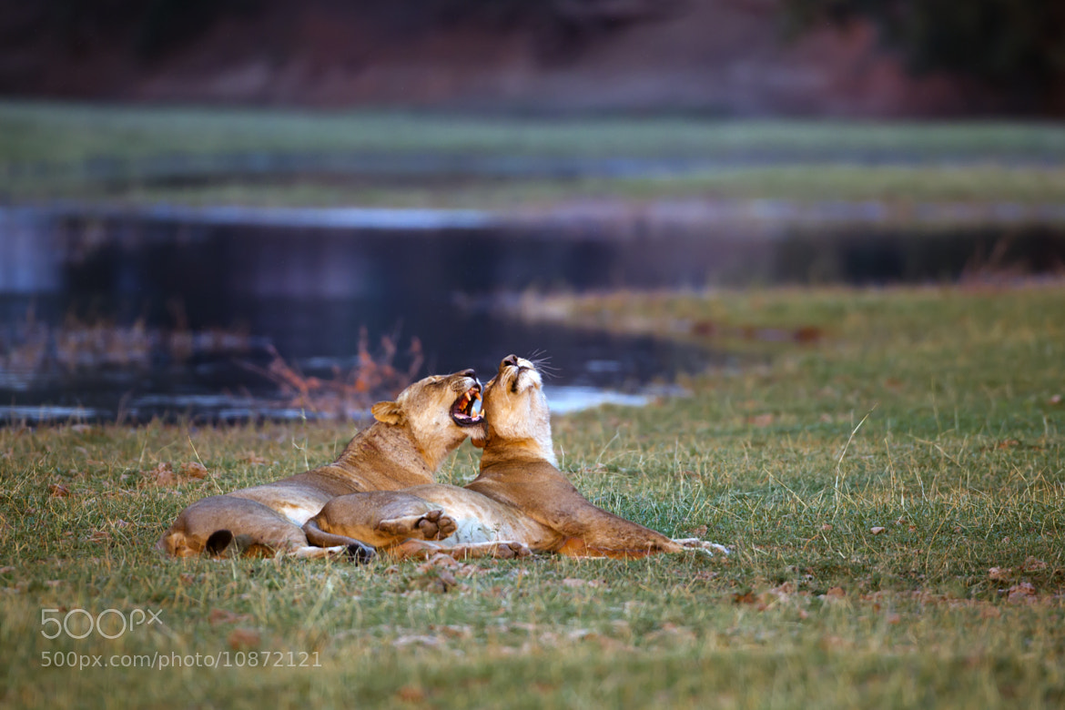 Photograph Lionesses at Mana Pools by Patrick Meier on 500px