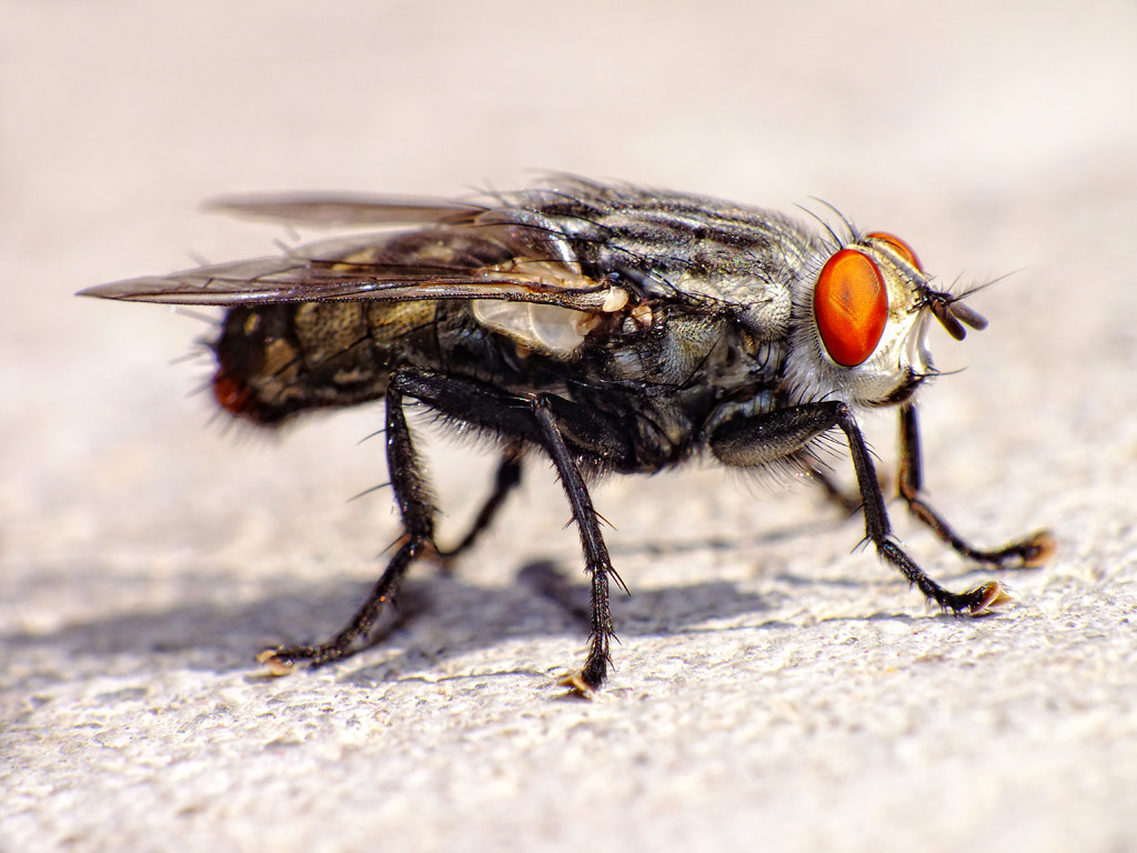 Photograph The Housefly-3 by MURAT FINDIK on 500px
