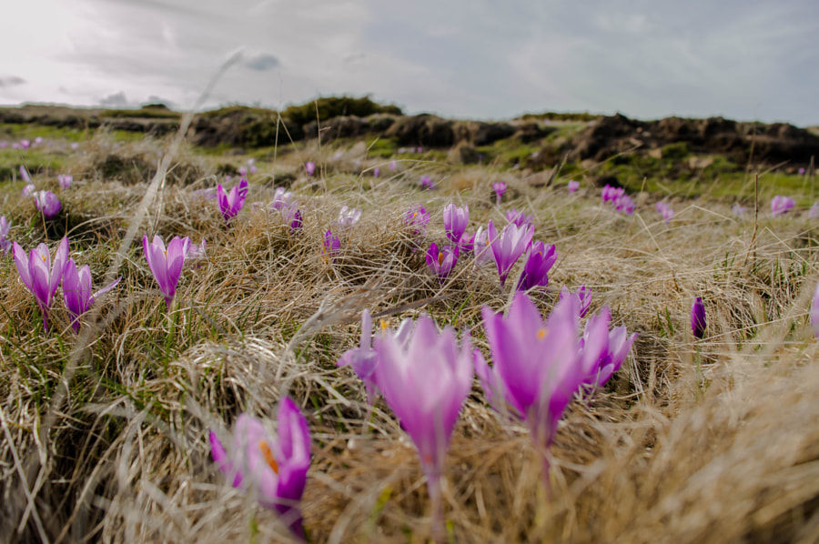 Crocus field by Radoslav Zarkov on 500px.com