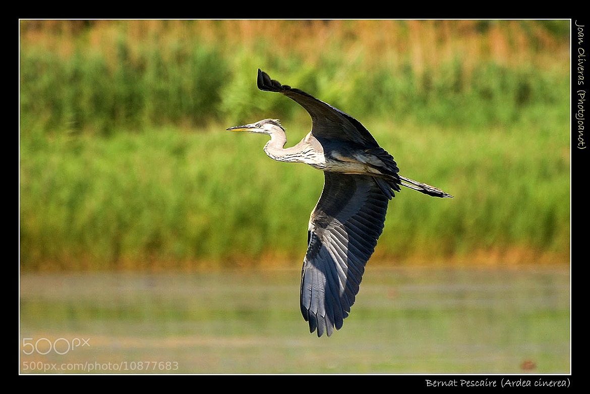 Photograph Bernat Pescaire (Ardea cinerea) by Joan Oliveras on 500px