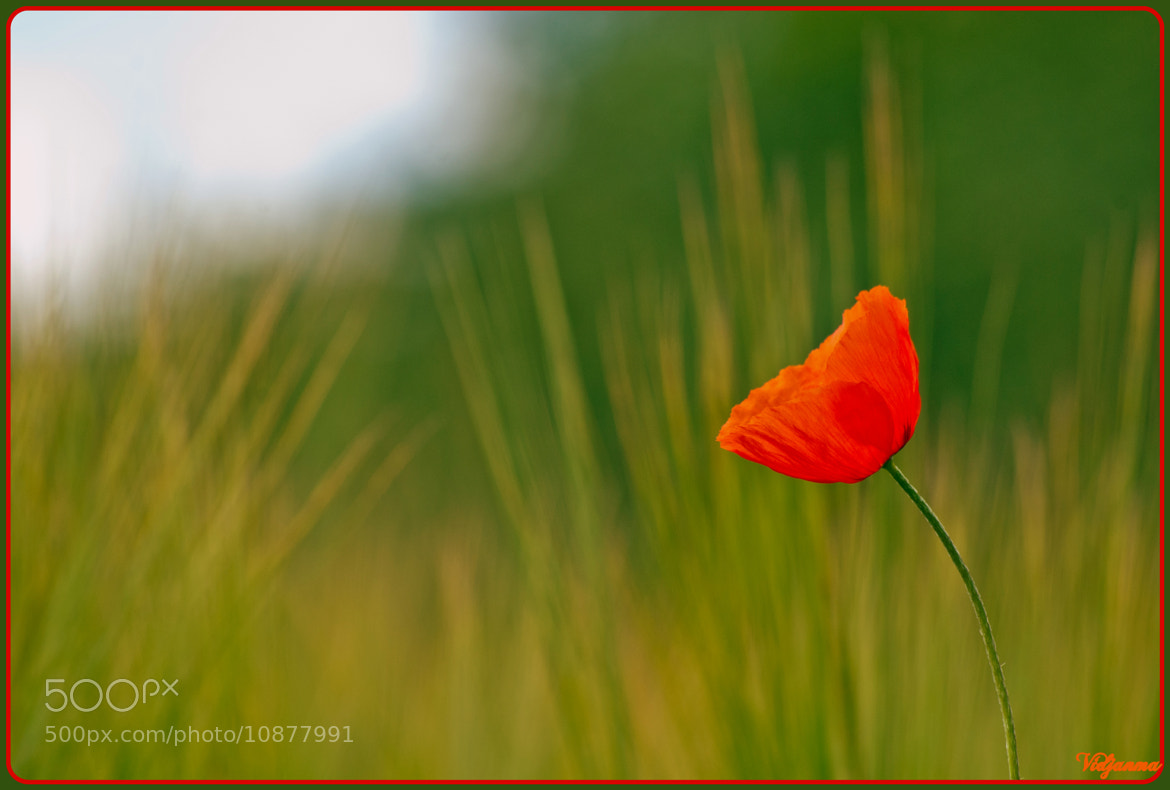 Photograph Coquelicot respire by Jean-Marie Henrotte on 500px