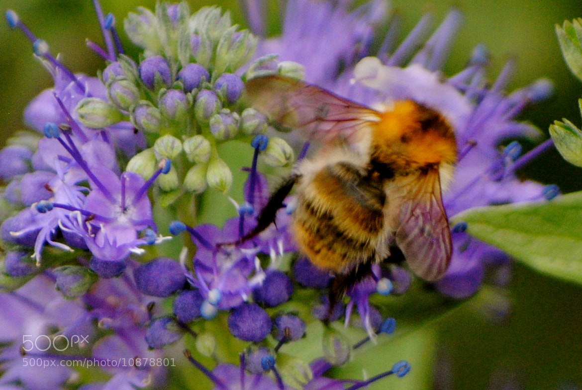 Photograph Busy busy bee.. by Lori Conklin on 500px