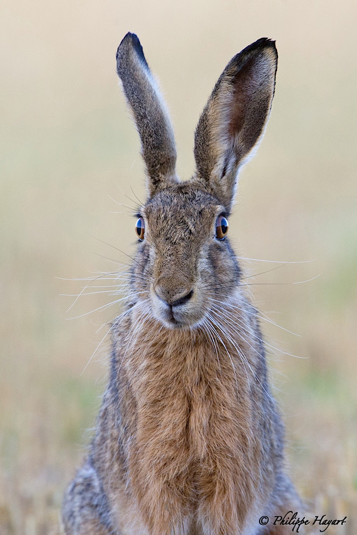 Photograph Portrait of hare by Philippe Hayart on 500px