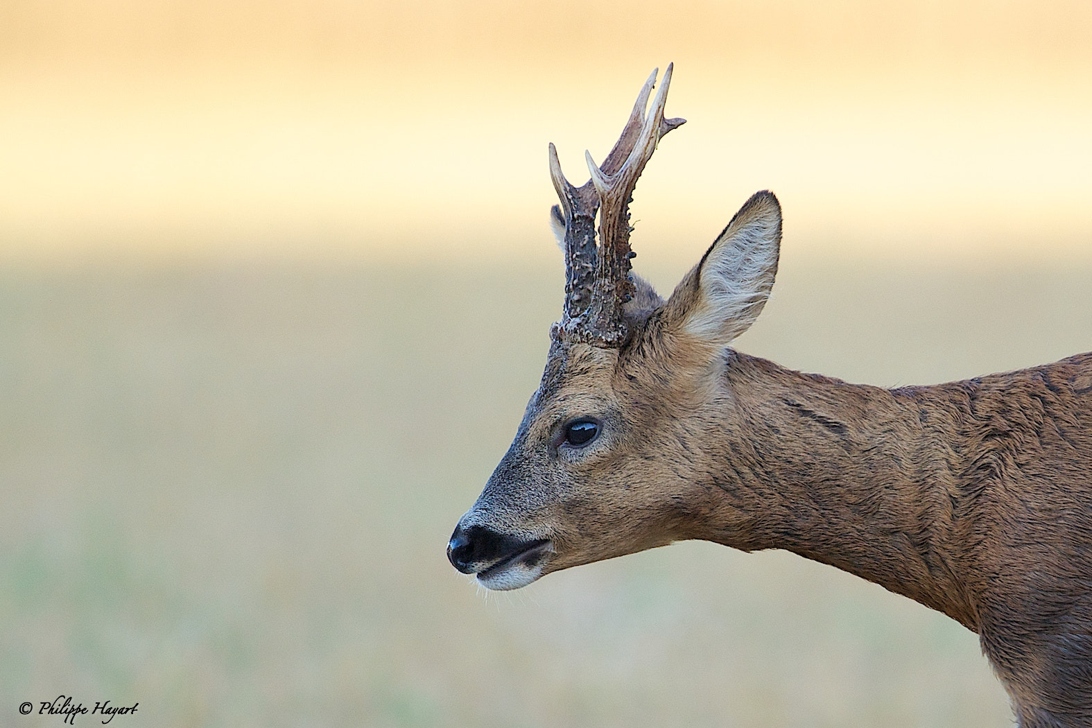 Photograph Roe deer (proximity) by Philippe Hayart on 500px