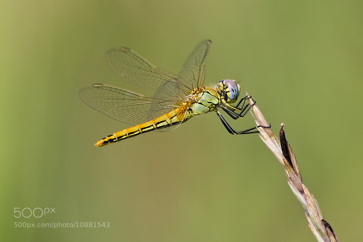 Photograph Sympetrum fonscolombii by Lele Erre on 500px