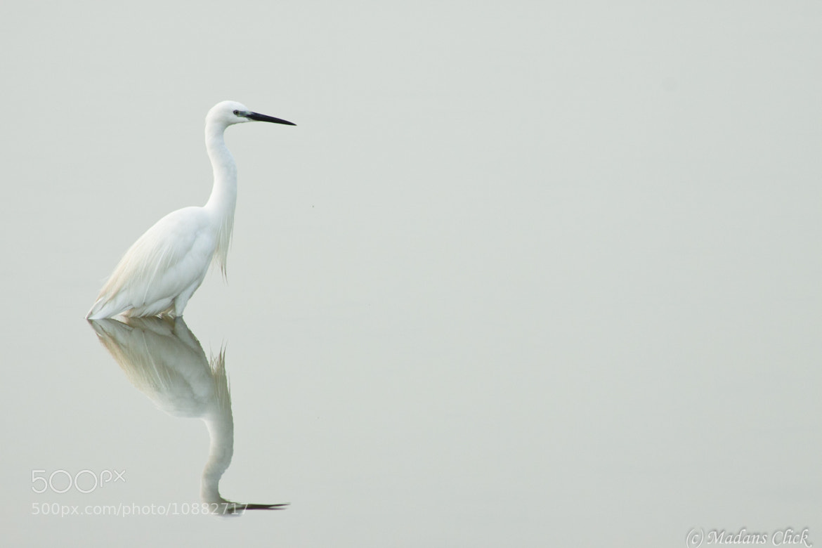 Photograph Little Egret water reflection by Madan GC on 500px