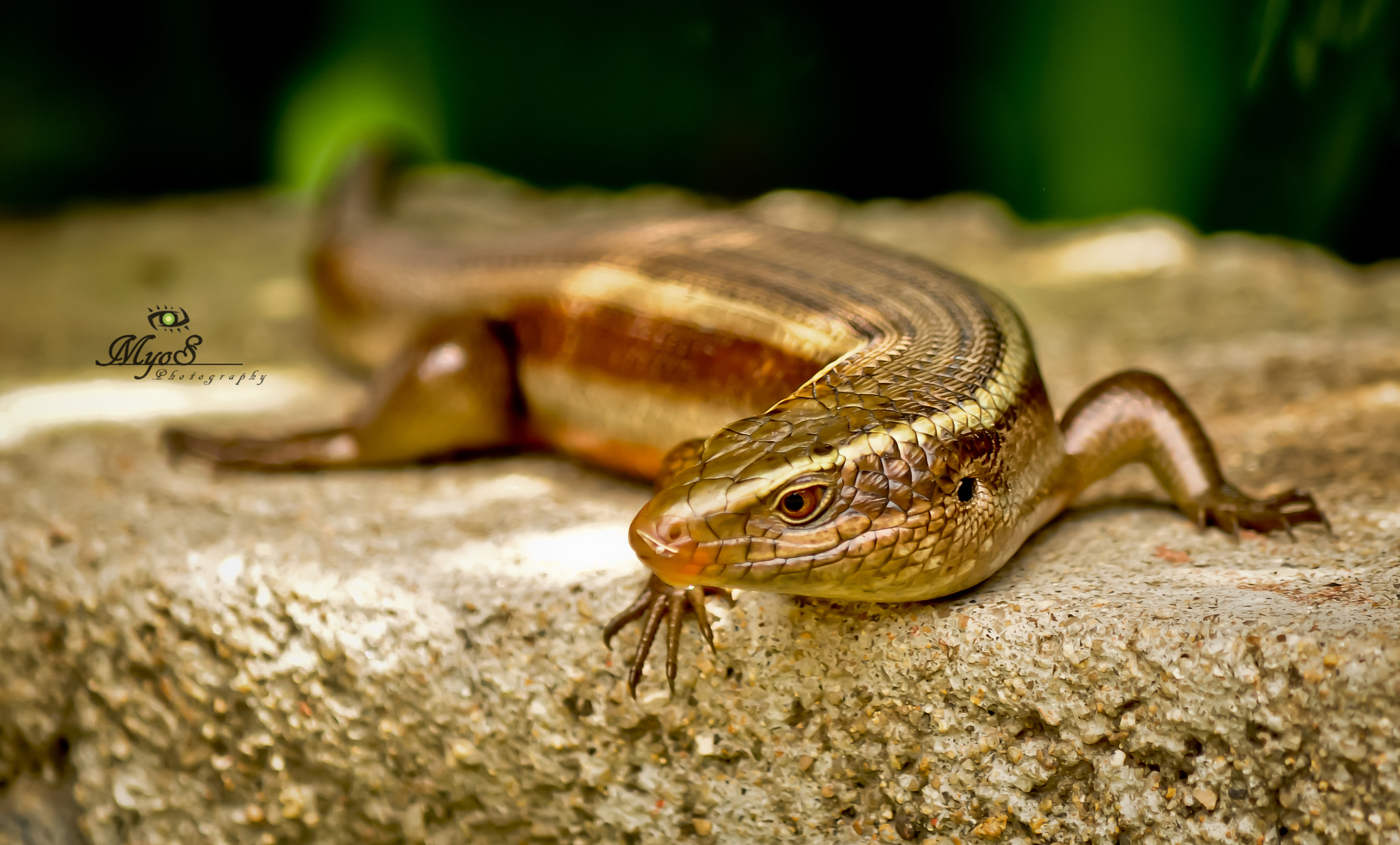 Photograph Bronze Grass Skink by Yoh SM on 500px
