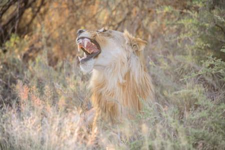 Sunny side of lion