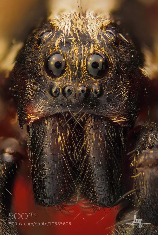 Photograph Lycosidae by Carlos Álvarez on 500px