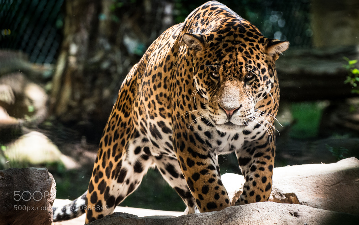 Photograph Panther - Zoo de Beauval by Christophe SIMONNEAU on 500px