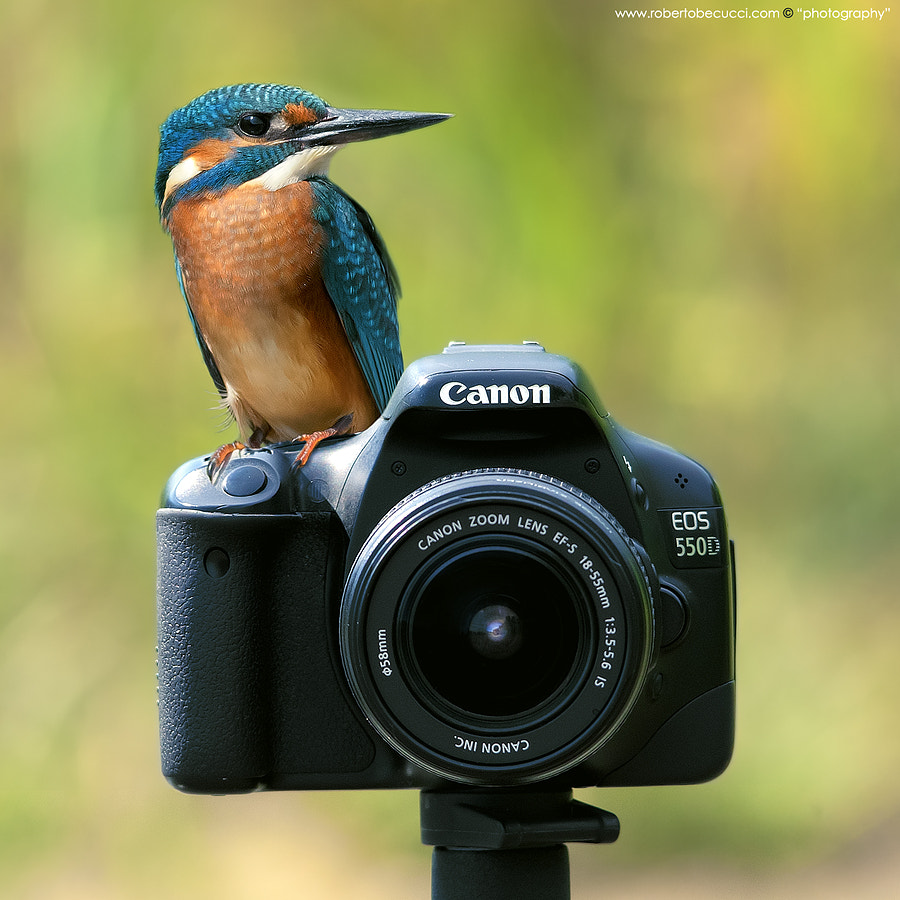 Photograph The kingfisher prefers canon by Roberto Becucci on 500px