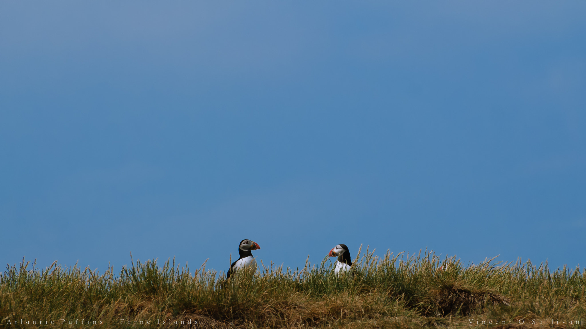 Photograph Atlantic Puffins - Farne Islands by Vince O'Sullivan on 500px