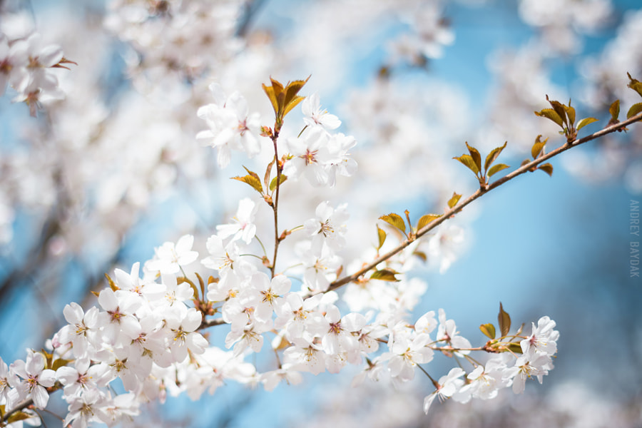 Cherry blossom by Andrey Baydak on 500px.com