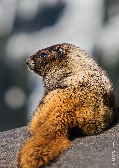 Photograph Hoary Marmot Resting by Michael Flaherty on 500px