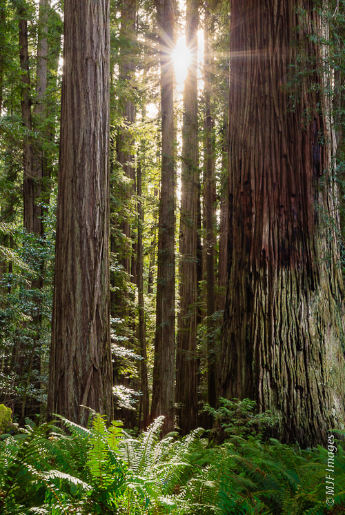 Photograph Sunstar & Redwoods by Michael Flaherty on 500px