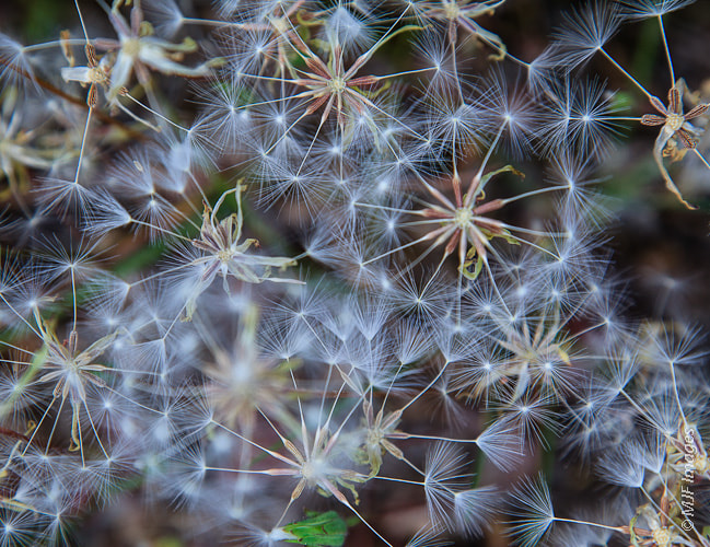 Photograph Constellation of Seed Heads by Michael Flaherty on 500px