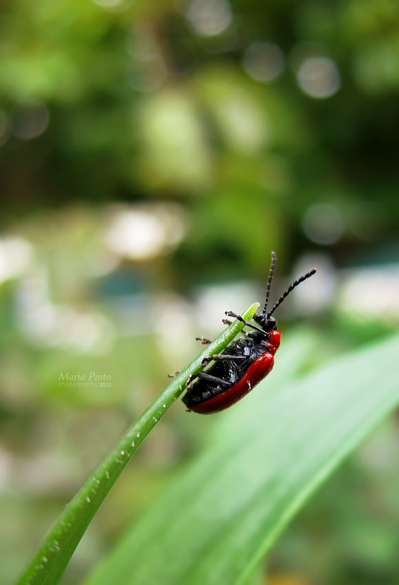 Photograph Scarlet Lily Beetle II by Maria Pinto on 500px