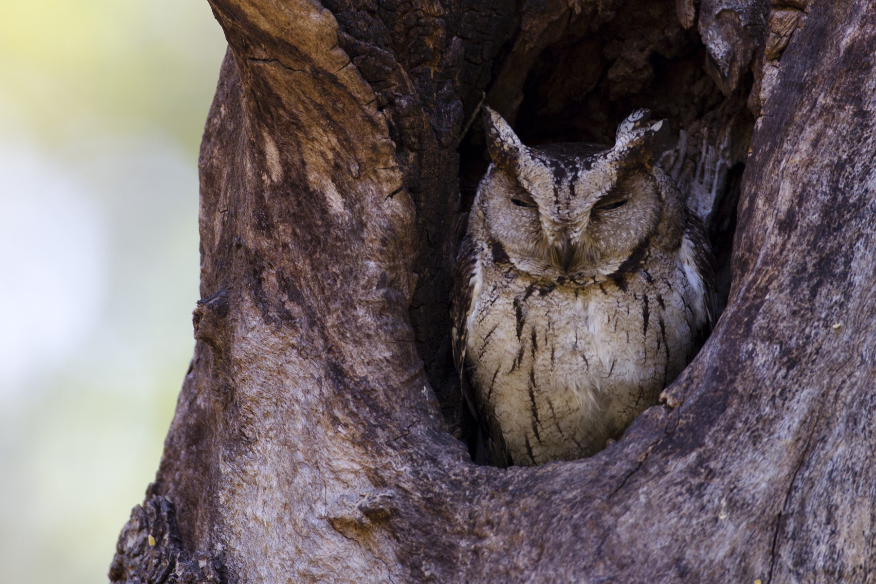 Photograph Indian Scops Owl by Patrick Meier on 500px