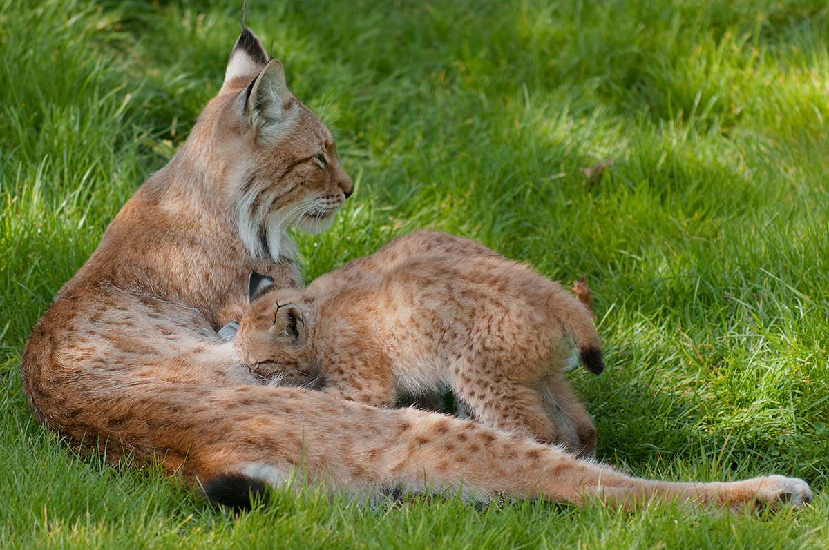 Photograph Lynx cubs drinking by Mom by Rob Janné on 500px