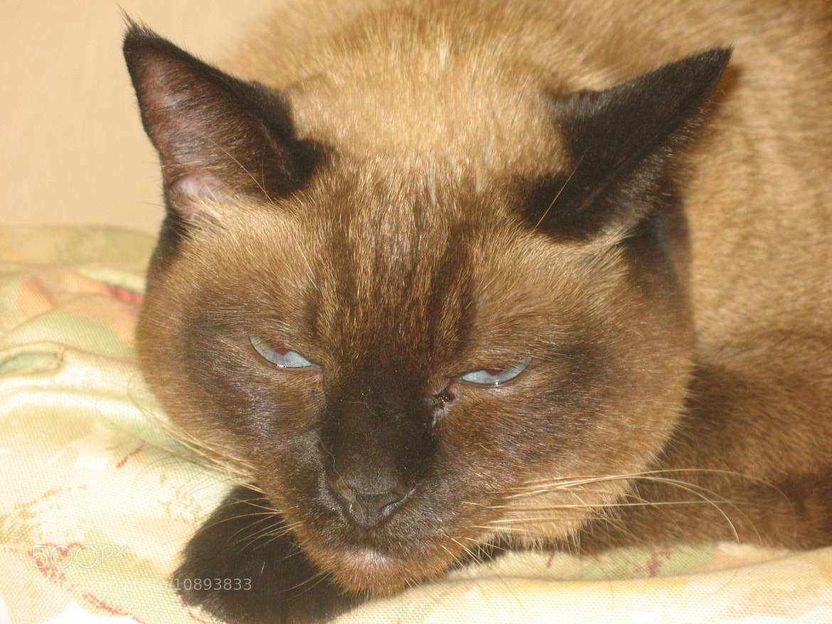 Photograph Siamese half asleep by Jean-Claude Guilbaud on 500px