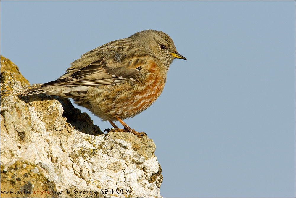 Photograph Alpine Accentor (Prunella collaris) by Gyorgy Szimuly on 500px