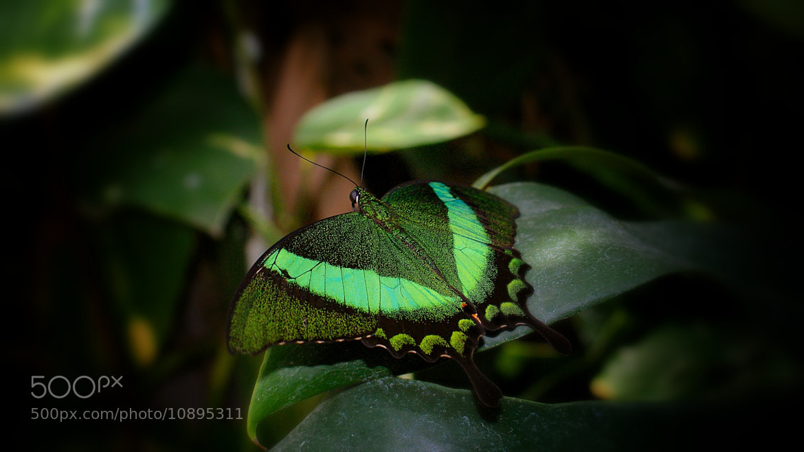 Photograph Emerald Swallowtail  by Zack Parton on 500px