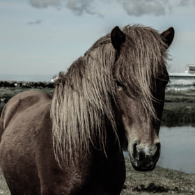 The Icelandic horse by Victor Ágústsson (VictorAgustsson)) on 500px.com