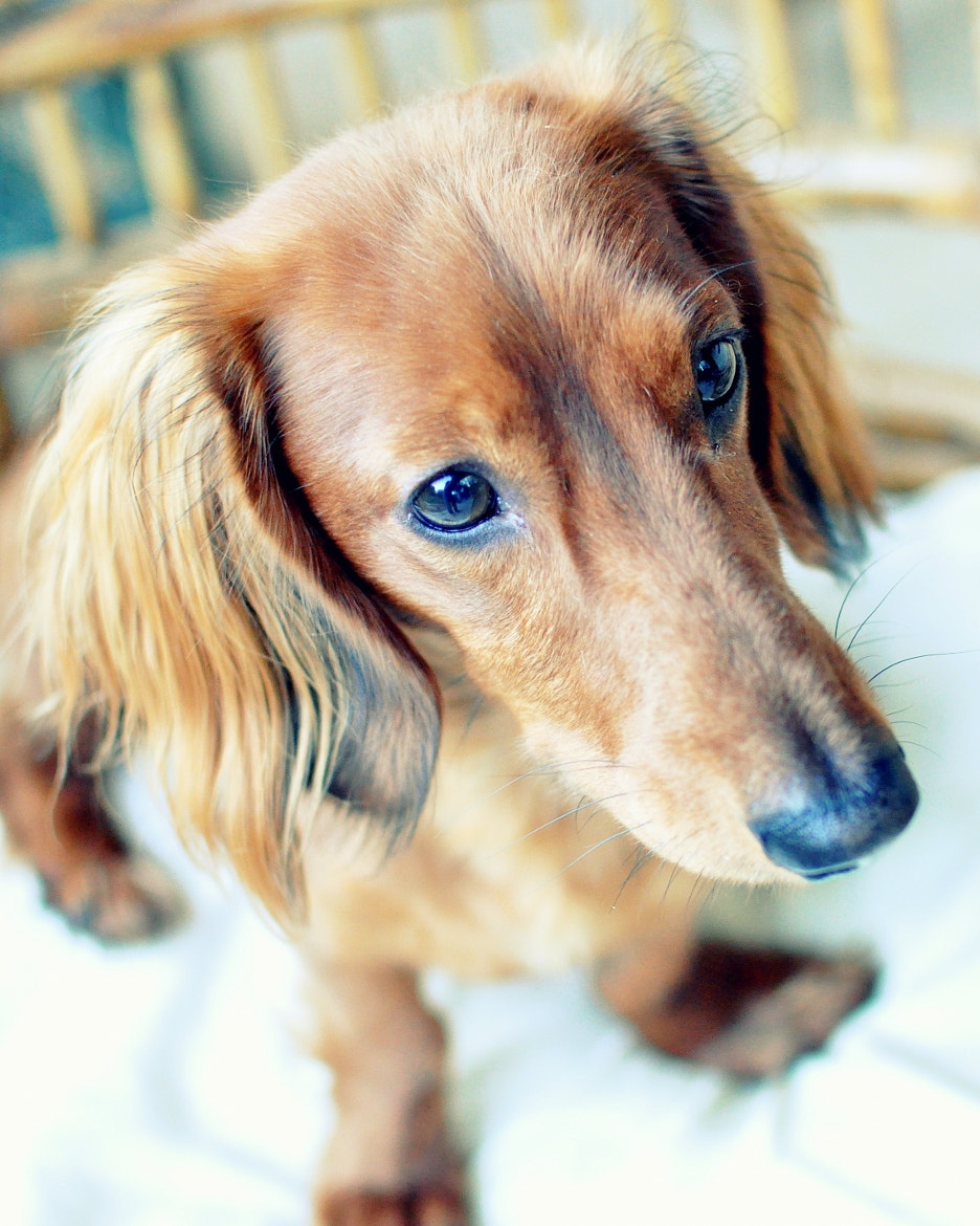 Photograph Shaded Red Dachshund by Linda Ypulong on 500px