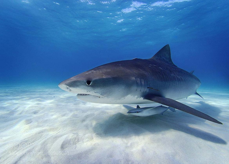 Photograph Tiger shark & Remora by alex dawson on 500px