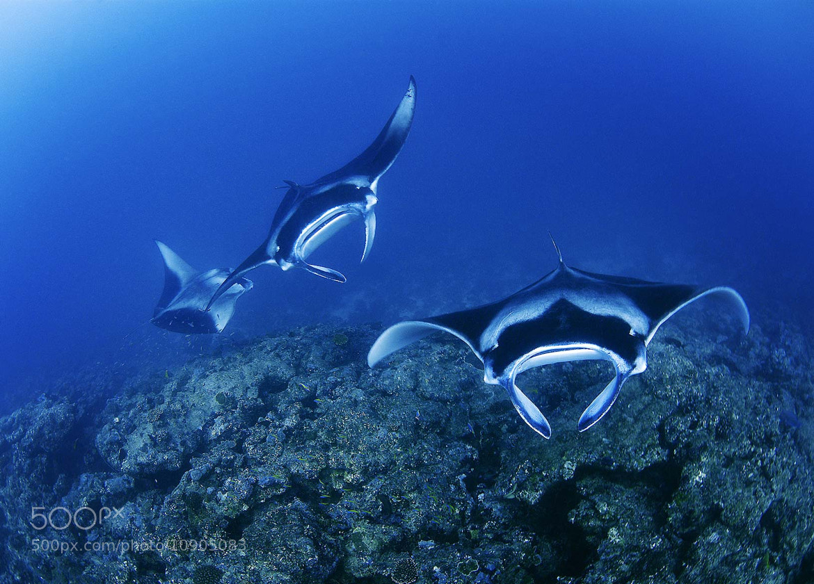 Photograph Manta rays by alex dawson on 500px