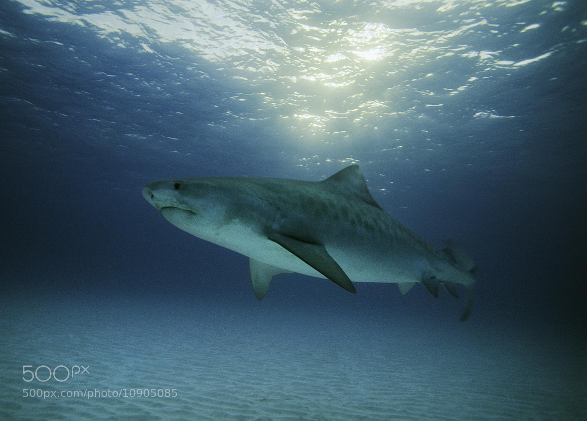 Photograph Tiger shark on film by alex dawson on 500px