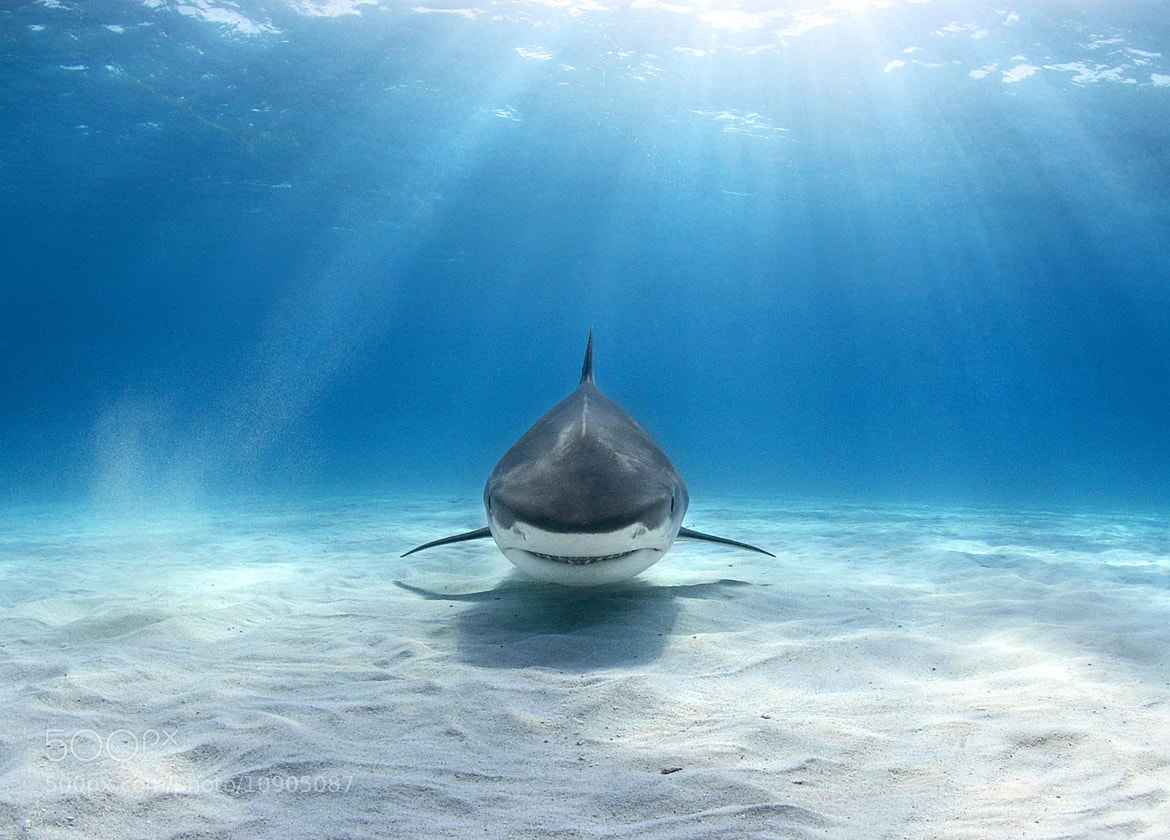Photograph Tiger shark by alex dawson on 500px