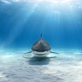 Tiger shark by alex dawson on 500px.com