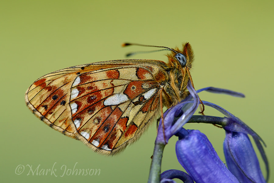 Photograph Pearl-bordered fritillary by Mark Johnson on 500px