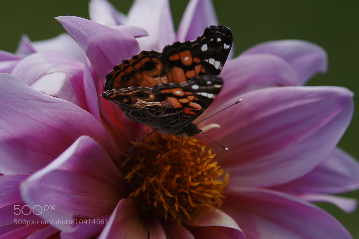 Photograph butterfly and Dahlia by Cristobal Garciaferro Rubio on 500px