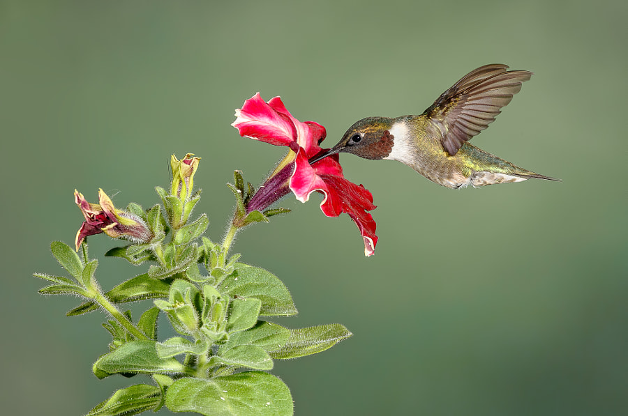 Photograph Ruby-throated hummingbird by Mike Bons on 500px