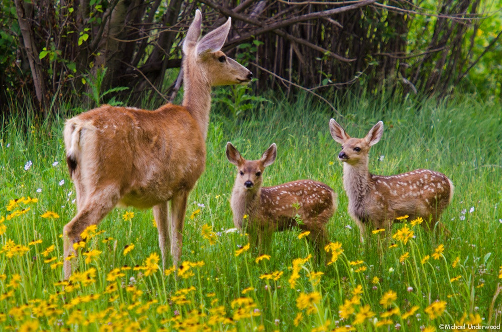 Photograph Doe and Twin Fawns by Michael Underwood on 500px